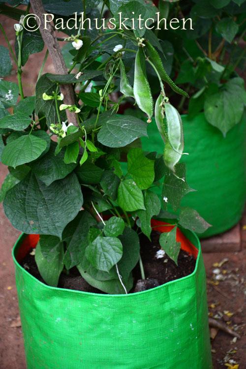 broad beans plant -avarakkai plant