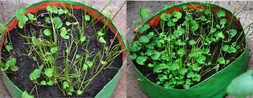vallarai in grow bag
